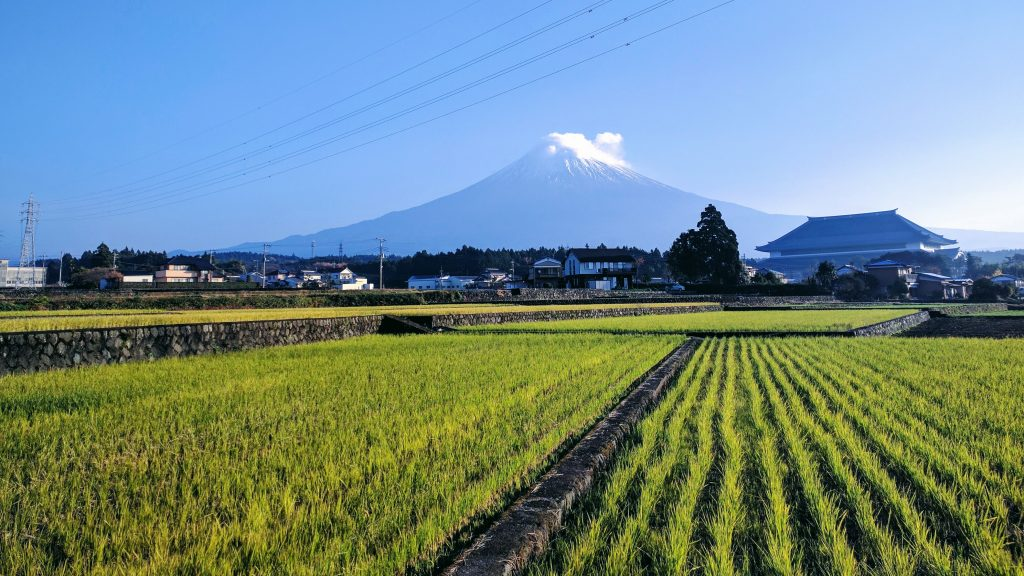 Mt Fuji from the rice fields at the lower slopes in Fujinomia City.