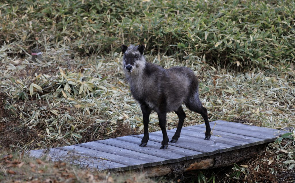 The elusive Kamoshika カモシカ, Japanese serow.